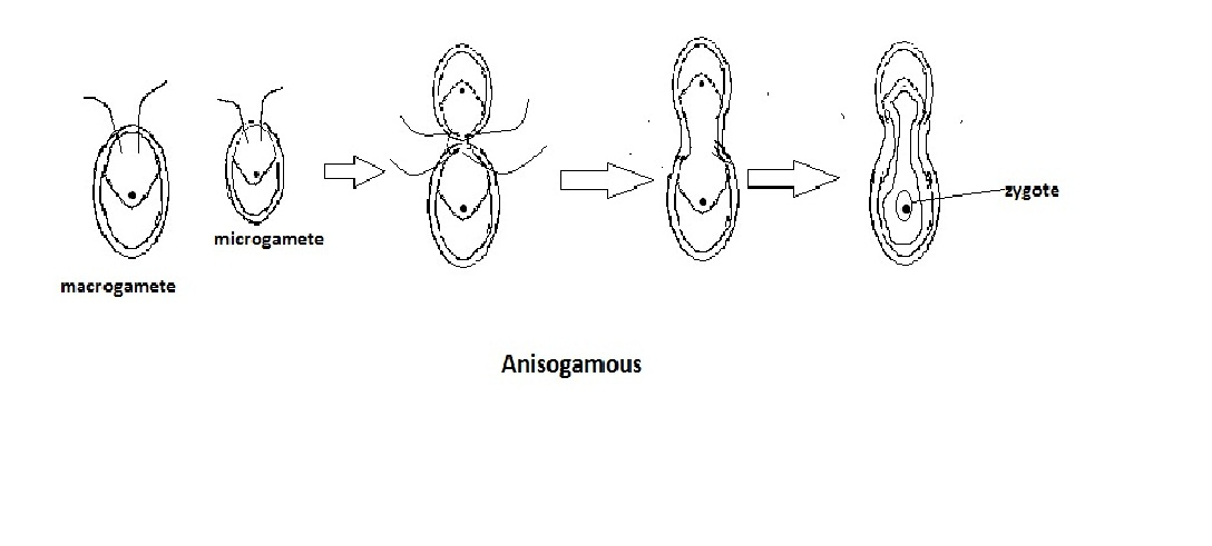 Chlamydomonas asexual reproduction examples